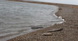 Çanakkale'de korkutan balık ölümleri