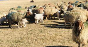 Şanlıurfa'da 37 bin 200 kuzu annesiyle buluştu
