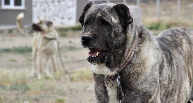 Sivas'ın ünlü kangal köpeğini Karaman'da yetiştiriyor