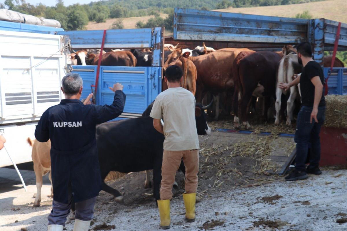 Selden etkilenen çiftçilere 89 büyükbaş hayvan gönderdiler